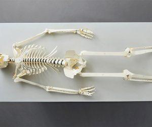 Build Your Own Life Size Human Skeleton