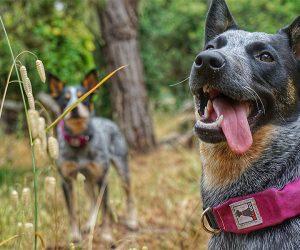 Rad Dog Release N Run Dog Leash and Collar